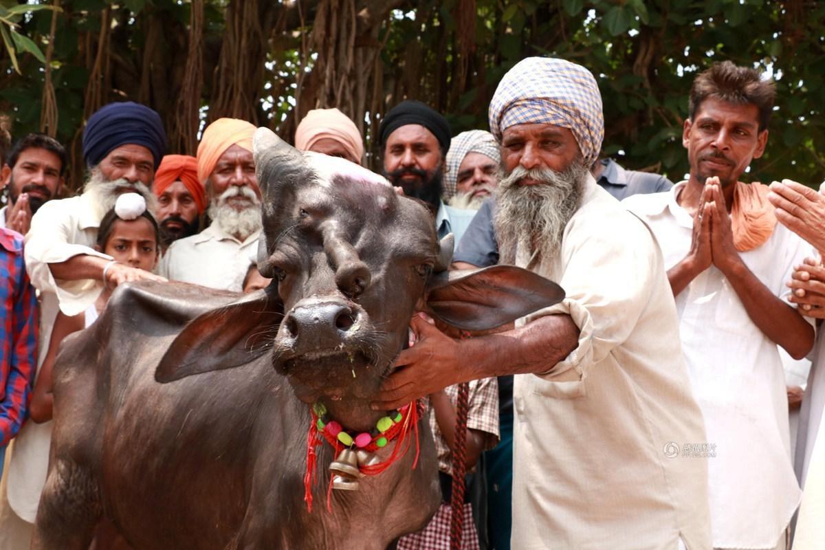 神的化身?印度小牛长三只眼被众人膜拜 - 海阔山遥 - .