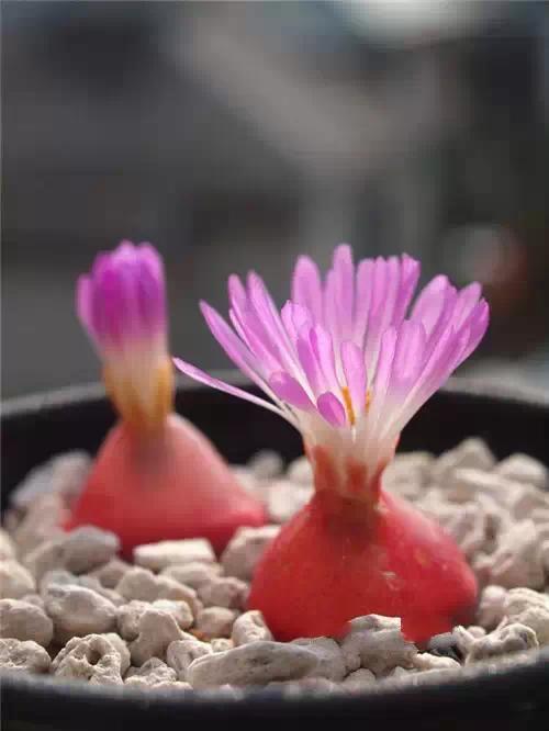 多肉植物开花,美翻了!2016.7.6 - fpdlgswmx - fpdlgswmx的博客
