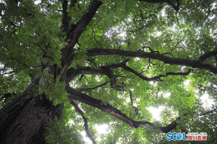 石棉大渡河畔最古老南酸枣树 560多岁仍挂果