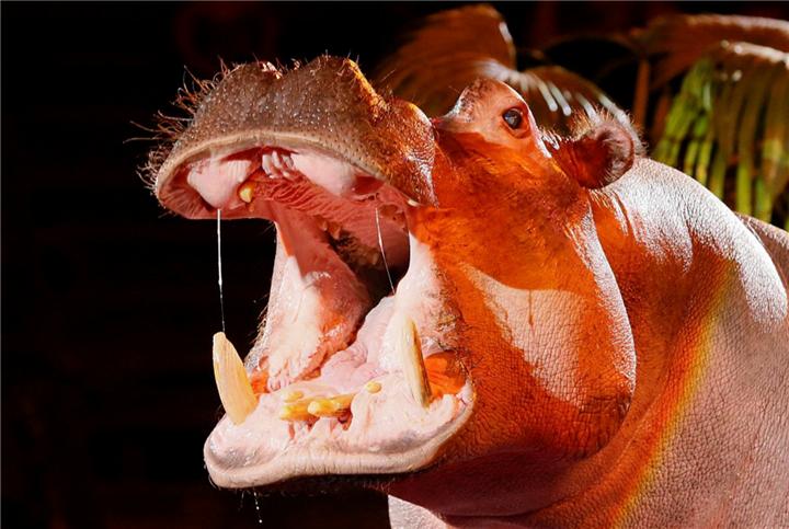 河马是世界上最危险的动物之一,在野外十分容易受到惊吓.