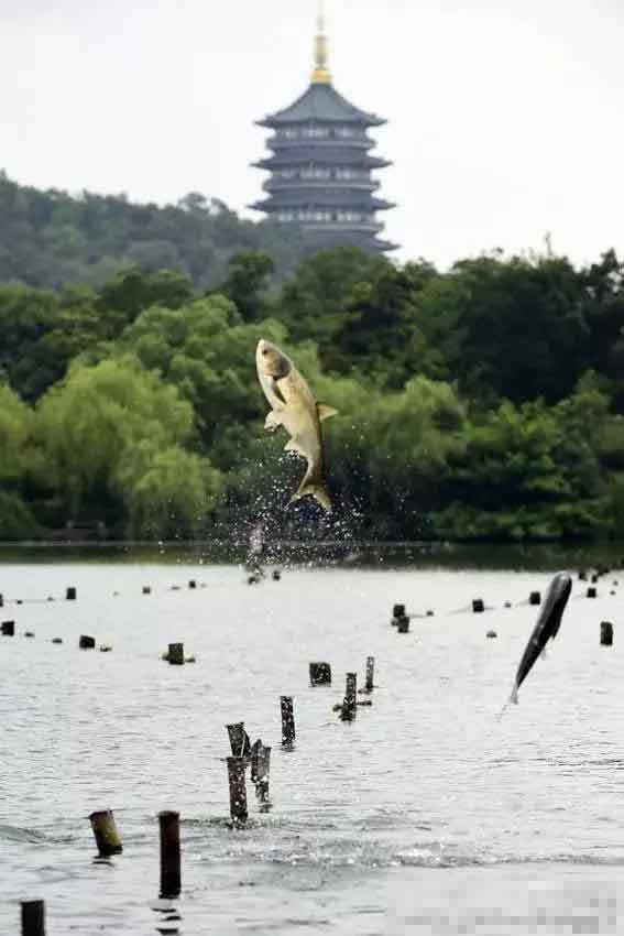 """杭州西湖现""""鱼跃龙门""""奇景 条条都是刘翔 - 海阔山遥 - ."""