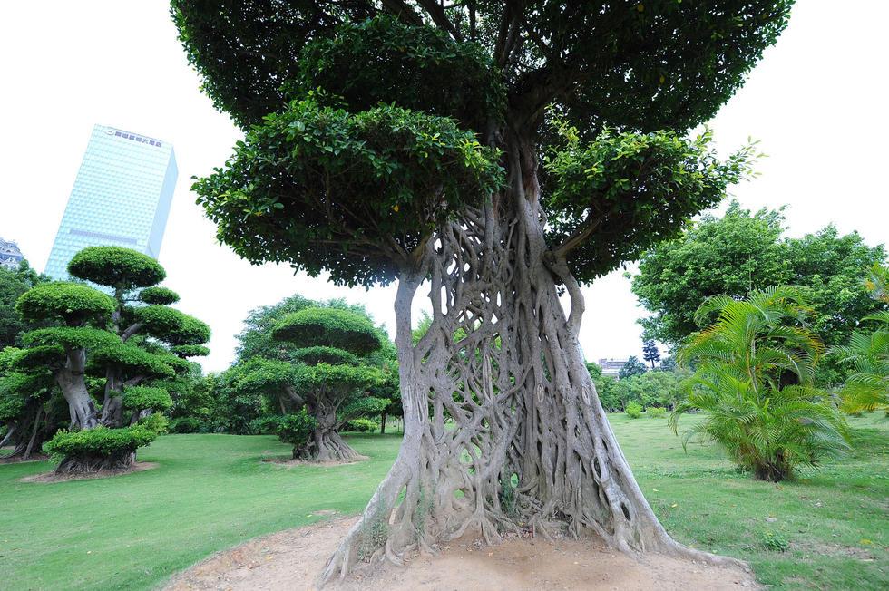 广西现奇葩大树 树干长成一张网2016.7.15 - fpdlgswmx - fpdlgswmx的博客