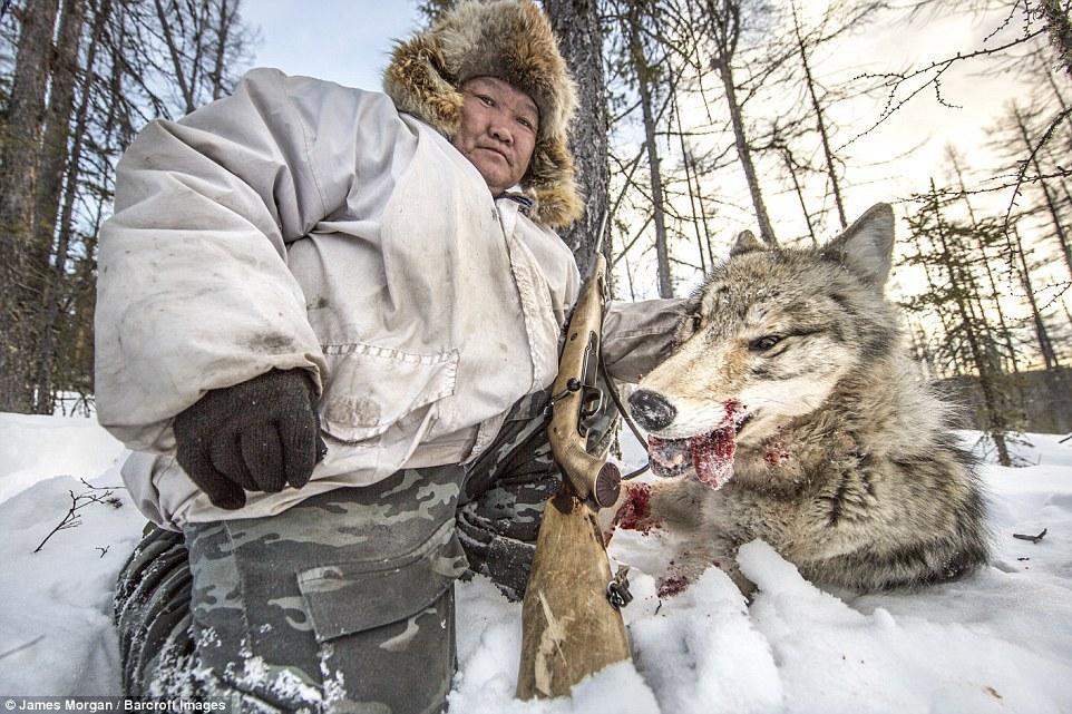 西伯利亚驯鹿人向狼群宣战 一张狼皮400美元 - 海阔山遥 - .