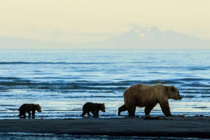 阿拉斯加两只小熊手拉手 等妈妈捕鱼归来
