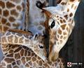 长颈鹿母爱感人