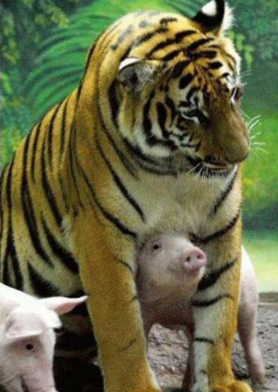 老虎妈妈丧子伤心 动物园用猪仔替代安慰 - 海阔山遥 - .
