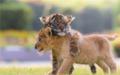 幼狮幼虎与小兔