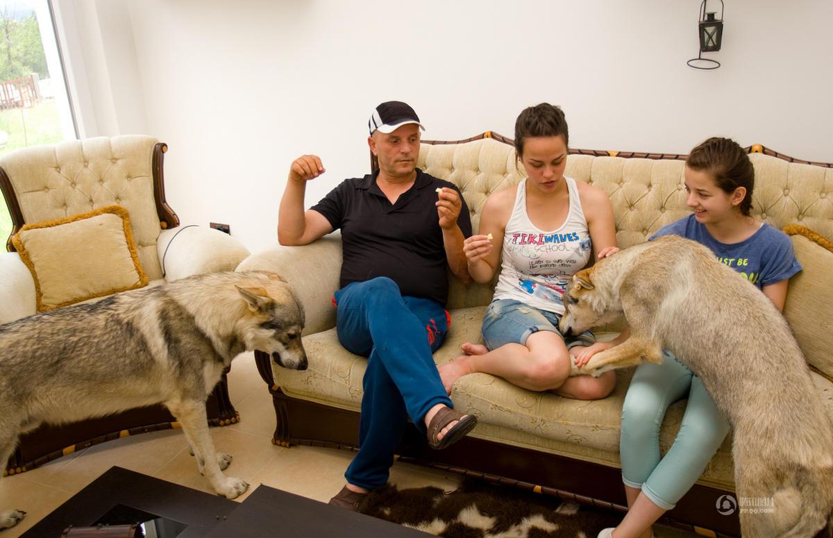 【图片新闻】马其顿家庭养六只狼狗当宠物 朝夕相处超有爱 - 耄耋顽童 - 耄耋顽童博客 欢迎光临指导