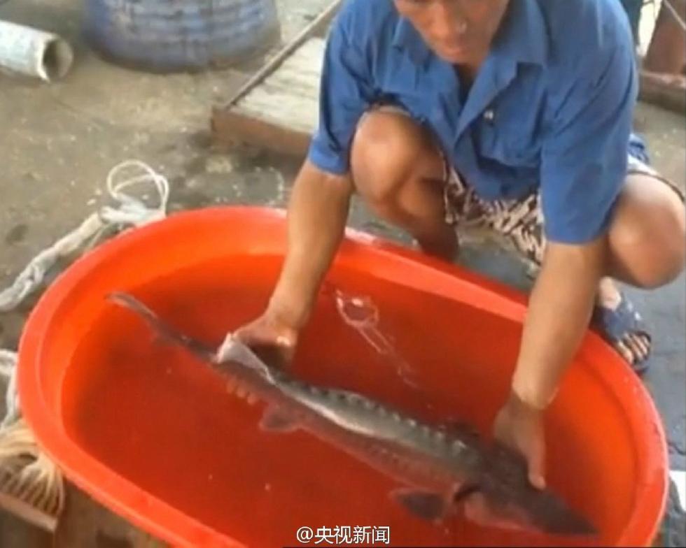 【图片新闻】渔民捕获3条野生中华鲟后全部放生 - 耄耋顽童 - 耄耋顽童博客 欢迎光临指导