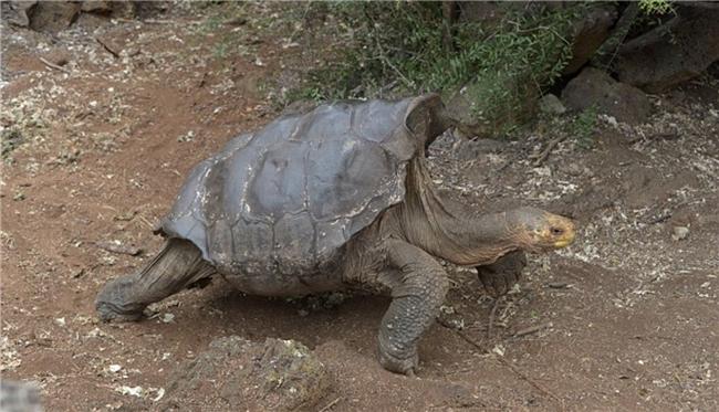 【图片新闻】百岁老龟繁殖力爆表 全岛小龟都是他的后代 - 耄耋顽童 - 耄耋顽童博客 欢迎光临指导
