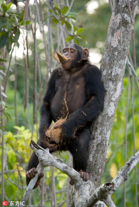摄影师拍摄黑猩猩生活照 扮沉思者令人捧腹 - 海阔山遥 - .