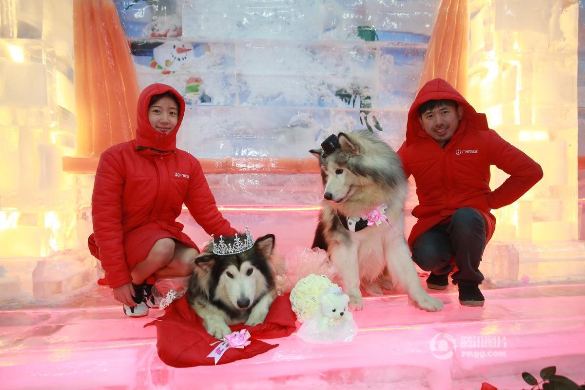 """【图片新闻】广州""""铲屎官""""为爱犬办婚礼 雪橇犬穿婚纱完婚 - 耄耋顽童 - 耄耋顽童博客 欢迎光临指导"""