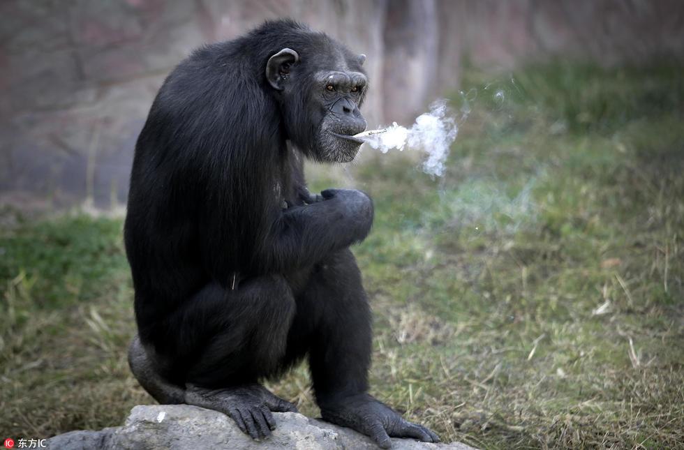 朝鲜动物园19岁大猩猩抽烟 动作熟练每日1包 - 海阔山遥 - .