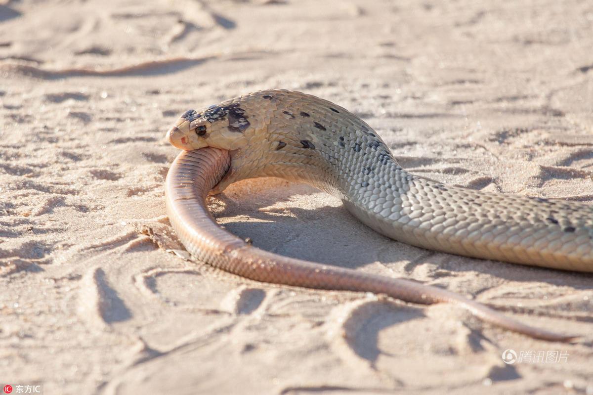 眼镜蛇捕食同类 艰难吞咽一小时才吃下 - 海阔山遥 - .