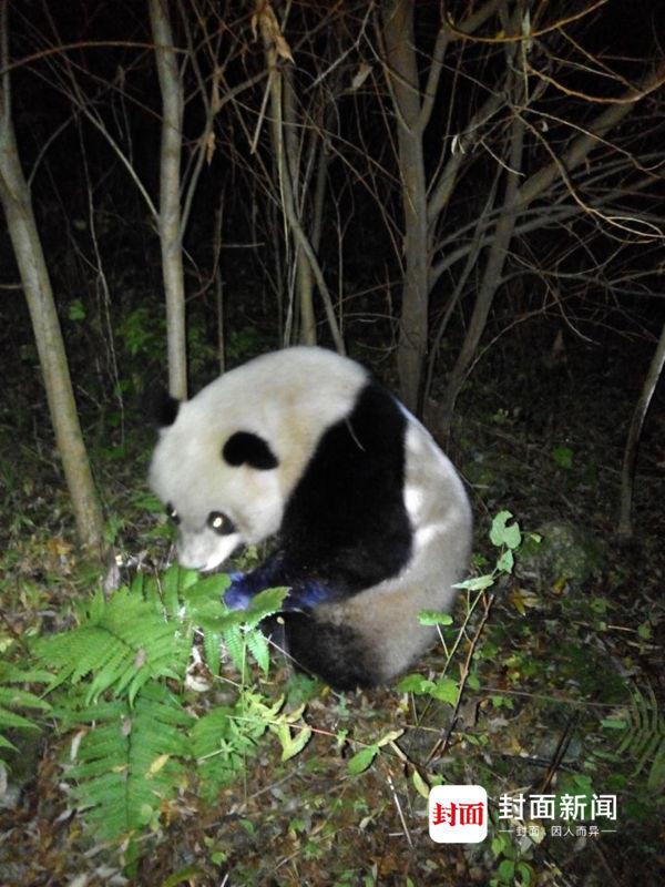 """大熊猫""""渡河""""失败被困电站 众人打麻药救援2016.11.2 - fpdlgswmx - fpdlgswmx的博客"""
