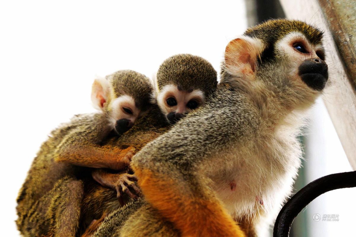 """""""最美猴奶妈""""育弃婴 驮着两小猴好有爱 - zcyyglzx - zcyyglzx的博客"""