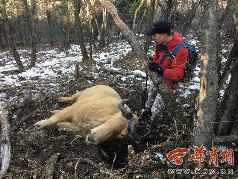 组图:国家一级保护动物羚牛秦岭被捕杀 - 海阔山遥 - .