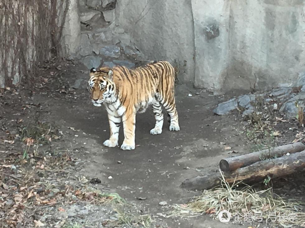 网曝北京动物园老虎骨瘦如柴 腹部干瘪如空