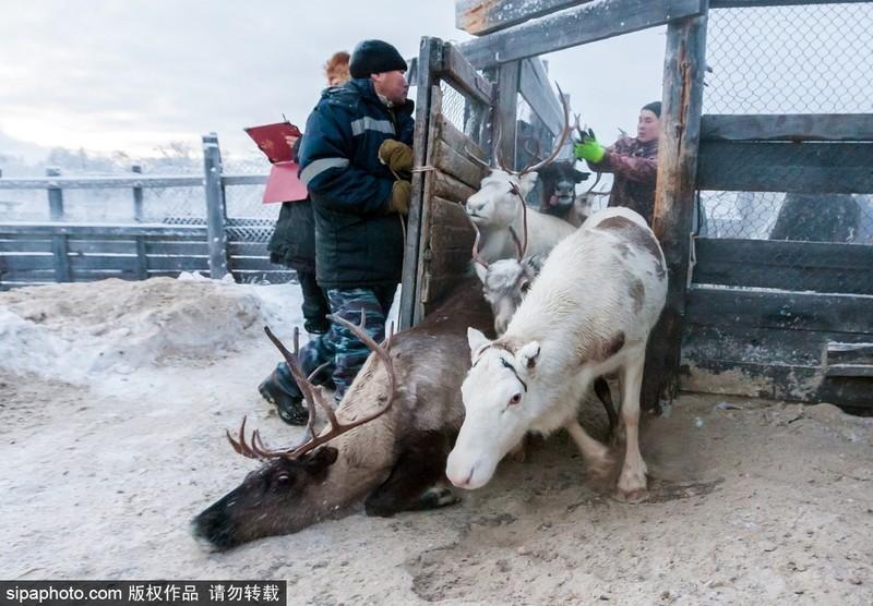 探访俄罗斯极寒之地:土著民生吃驯鹿 - 海阔山遥 - .