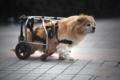 残疾狗狗靠轮椅行走