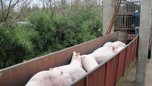 上海最大养猪场完成清退 上海人吃肉受影响吗