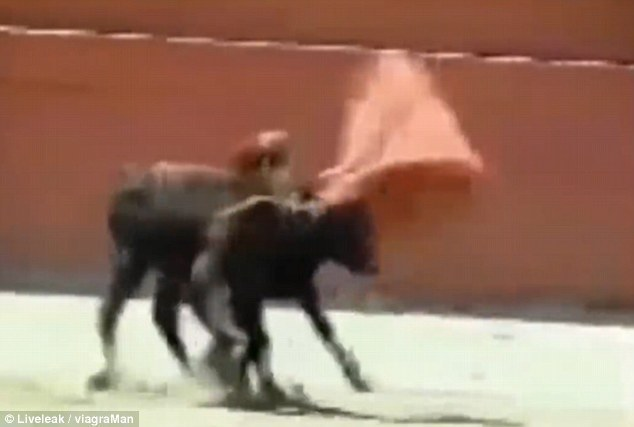 女斗牛士被公牛击倒后尴尬了 画面不可描述