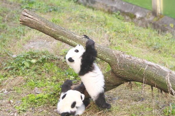 动物园双胞胎大熊猫亮相 市民还有机会认养熊猫