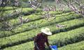 """""""三峡茶谷""""加紧采摘明前茶 10万农户采茶忙"""
