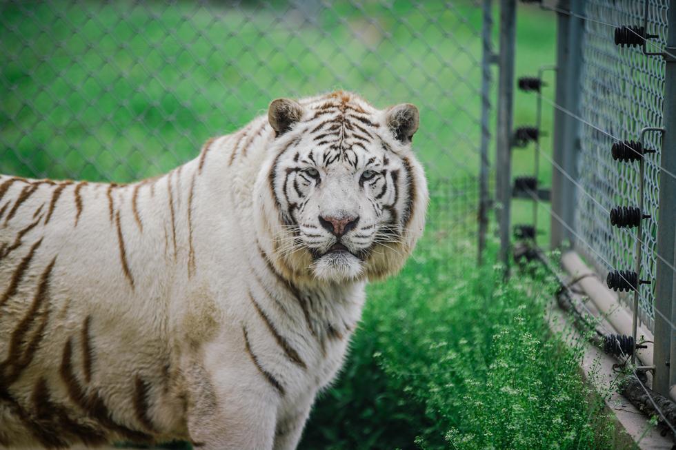 看着都害怕 近距离实拍秦岭动物园老虎