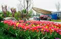 西安新植物园郁金香盛开 市民纷至沓来