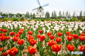在陕西去过这些地方赏郁金香 才算把春天过圆满了