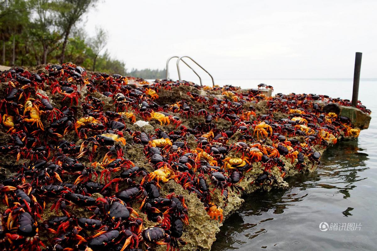 古巴百万螃蟹横行 当地人担心有毒不敢吃 (组图)
