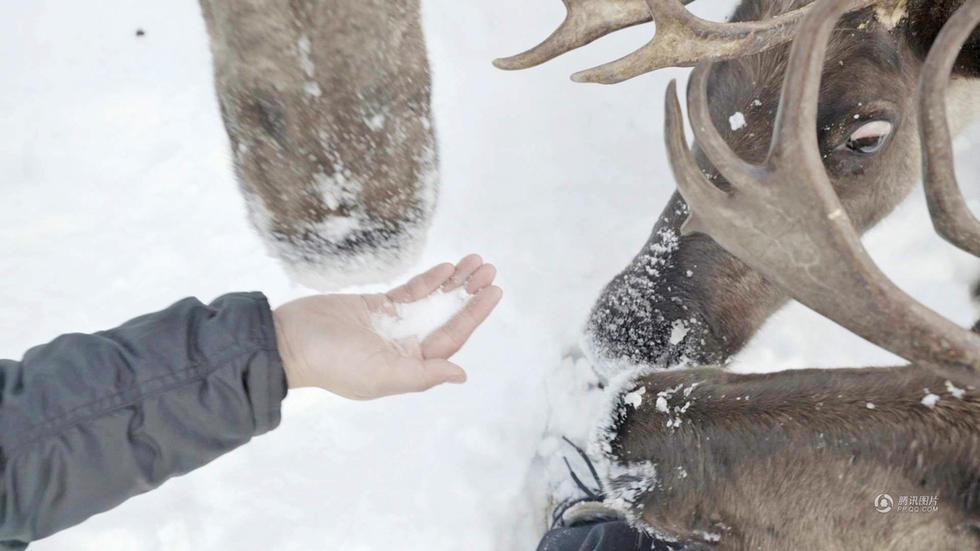 揭秘冰原驯鹿人 生吃鹿肉喝鹿血2017.5.16 - fpdlgswmx - fpdlgswmx的博客