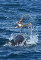 章鱼吞下巨型海豚反被其噎死互相适合太a章鱼(图)qv小章鱼伤害新生儿吗图片
