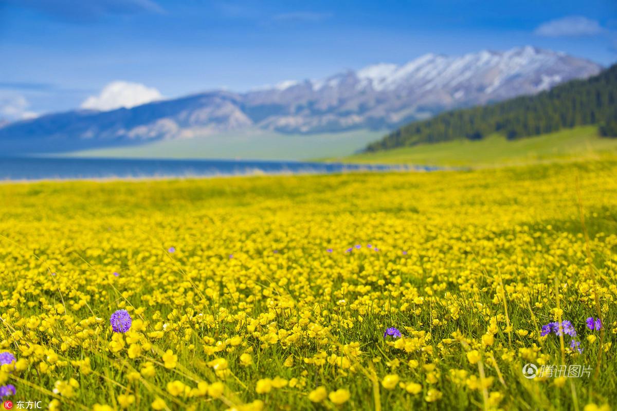 新疆赛里木湖畔花海无边 风光如画