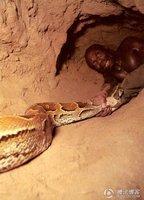 蟒蛇把美女吞进肚子里