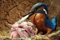 翠鸟哺育幼鸟