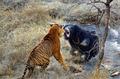 母熊击退老虎