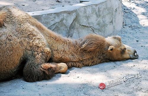 动物园走一遭 动物避暑动作姿势好撩人(组图)