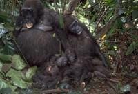 猩猩生殖器官母