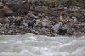 雅鲁藏布大峡谷影像生物多样性调查之走兽