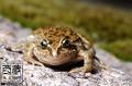 雅鲁藏布大峡谷影像生物多样性调查之两栖动物