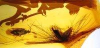 加拿大发现恐龙琥珀化石 全身长满美丽羽毛