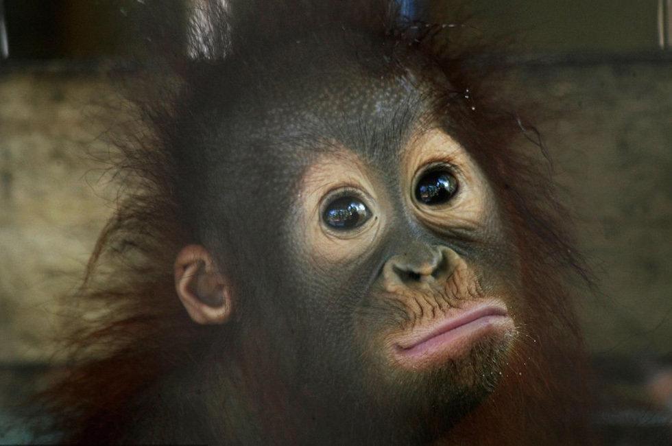 组图:印尼野生猩猩濒临灭绝