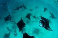 组图:马尔代夫魔鬼鱼海底集体觅食壮观景象