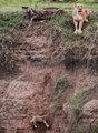 母狮勇救幼仔