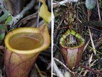 揭秘世界五大肉食植物:死亡陷阱捕鼠猪笼草