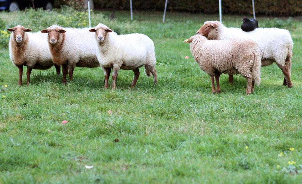 梦见鸡和羊是什么意思