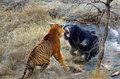 母熊狂击退老虎