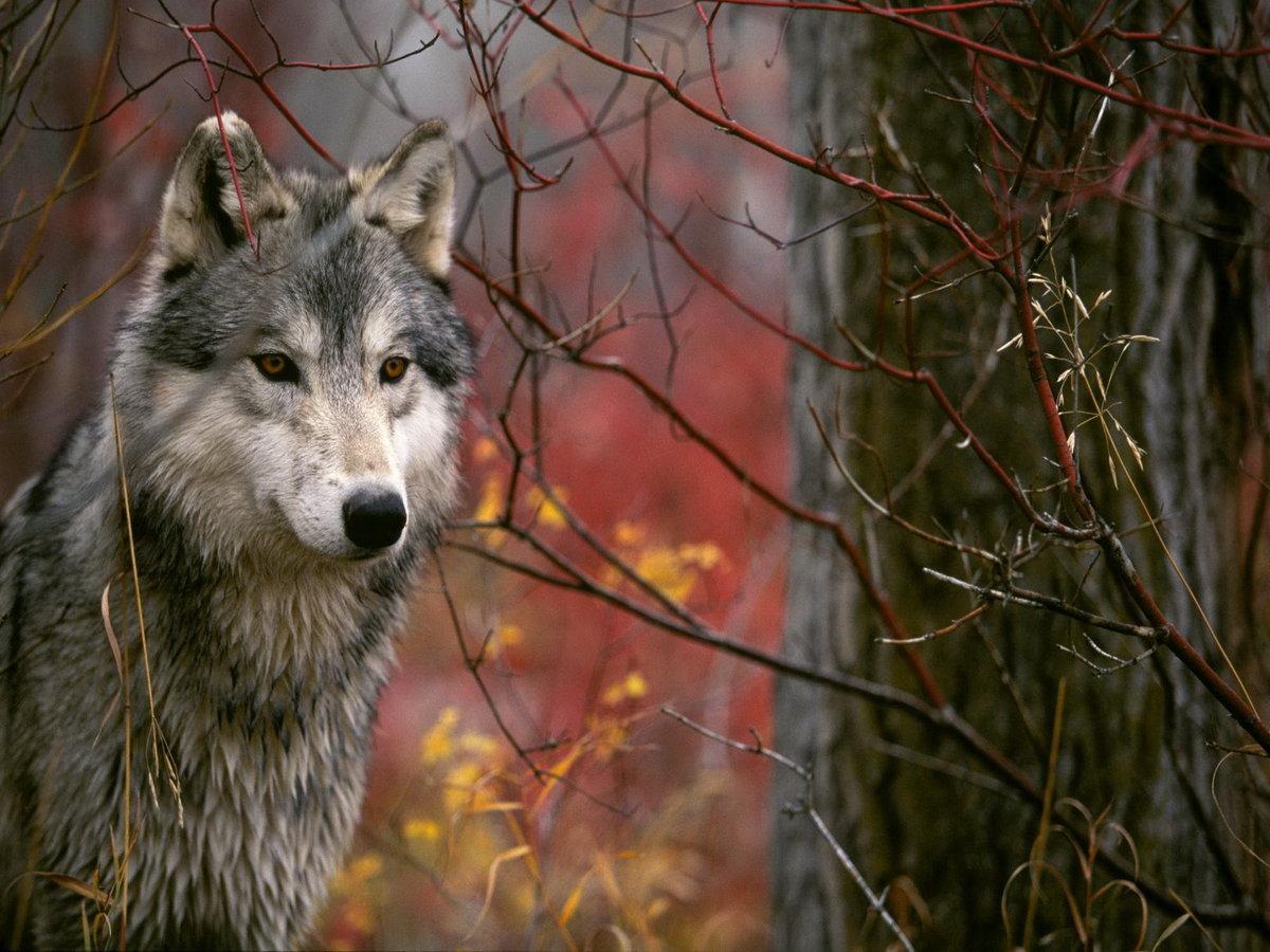 野生动物摄影:狼图腾